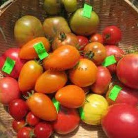 Pomidory - 600 odmian - bez GMO